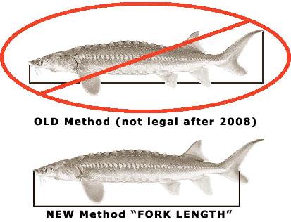 Sturgeon size limits will switch northwest fishing board for Fish size limits
