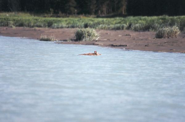 A coyote swims the open tidewater area of the lower Kasilof River on an early June trip.