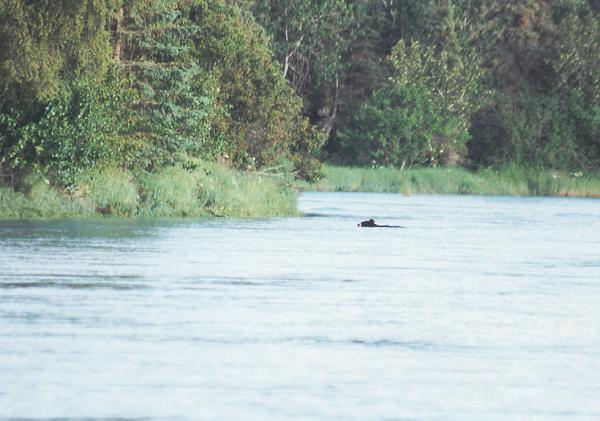 A black bear navigates the glacial waters on the Kasilof River on an early July float.