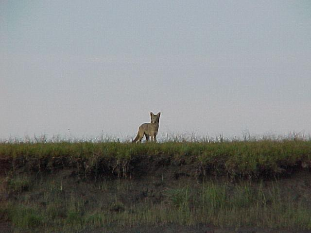 A coyote peeks over the edge of the tideflats to investigate what we're up to.