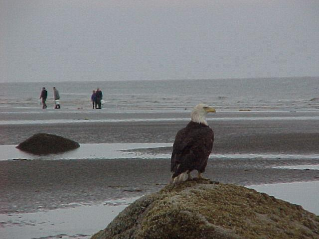 Keeper of the clam beds, an eagle watches over some clam diggers just south of Ninilchik.