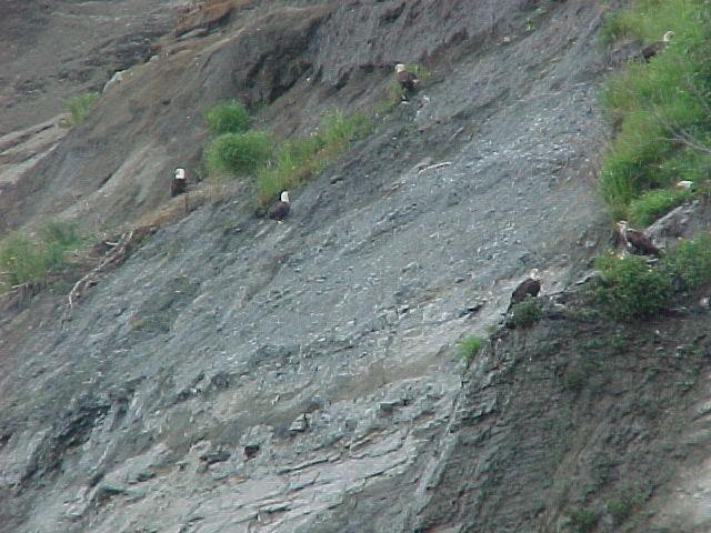 Eagles congregating along the shores of Cook Inlet.