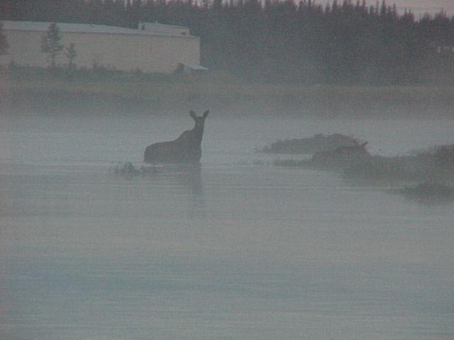 A moose peers through the fog to see what's coming her way on the lower Kasilof.