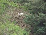 Mountain Goats overlooking our clamming activities in Kachemak Bay out of Homer.