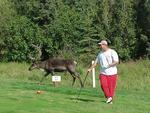 Caribou and other critters always have the right-of-way at local golf courses!