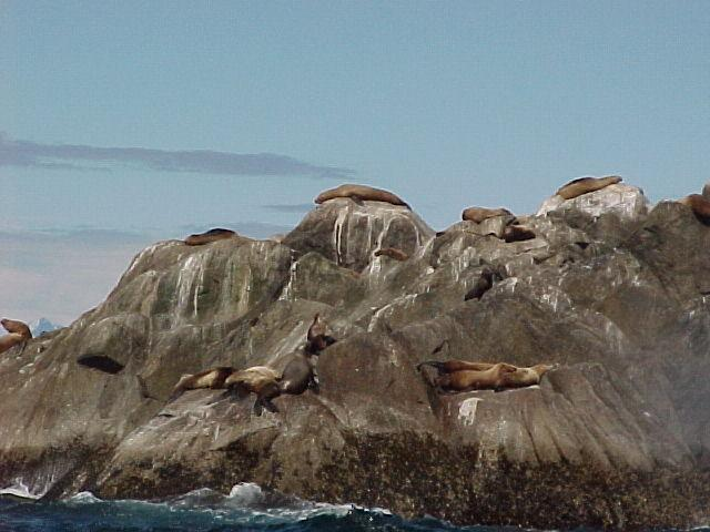 This is the life! Sea Lions basking in the sun off the Chiswell Islands out of Seward.