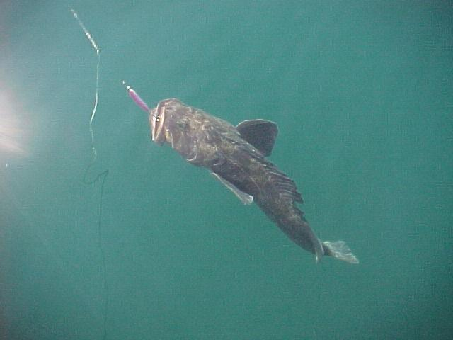 A Seward ling comes to the surface on a glass-flat day of fishing.