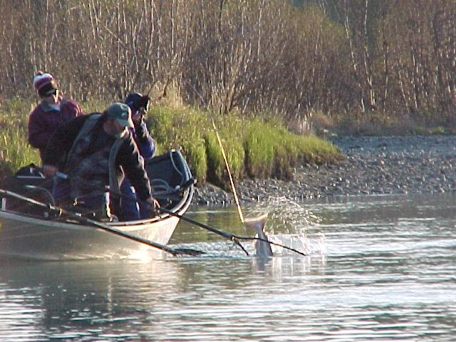 A Kasilof River king comes to the net.