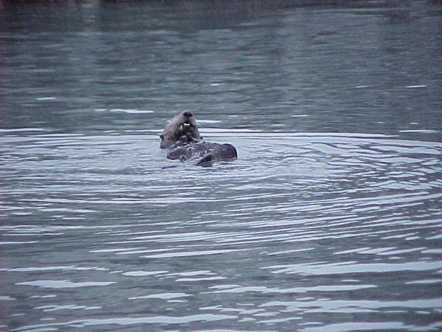 A sea otter puts on a show for guests on a Kenai Fjords Cruise.