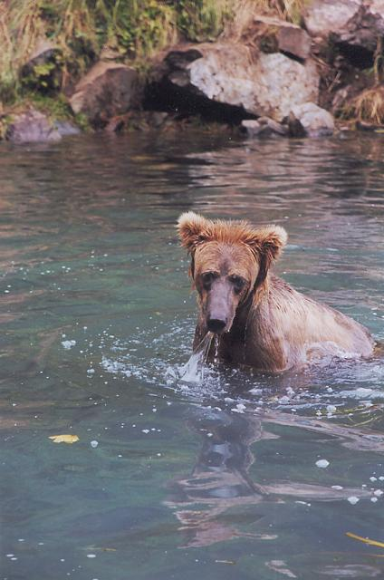 Fly-outs to Wolverine Creek give anglers a close-up look at grizzly bears actively fishing.