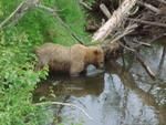 Town bear. A grizzly viewed from the road in Soldotna plying the waters of Slikok Creek.