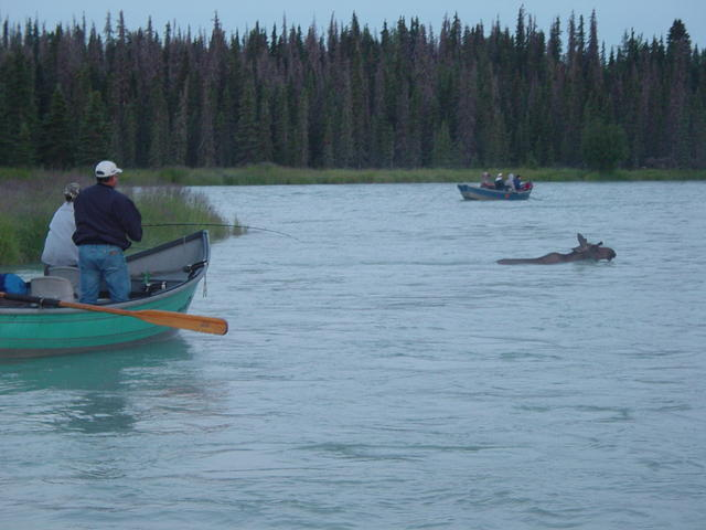 Sometimes you have to reel in ... to let the moose swim by!
