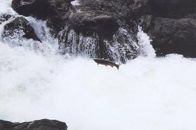 Steelhead jumping the Salmon Cascades on the upper Sol Dyc.