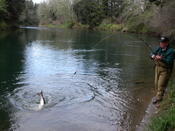 'duc hunter, living up to his name, works a spring chinook into shore.